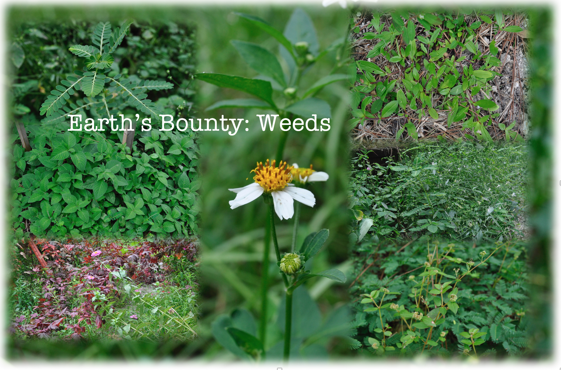 Weeds: The Earth's Bounty!